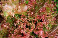 Mit seinen krausen roten Blättern sieht der Lollo Rosso besonders attraktiv aus.