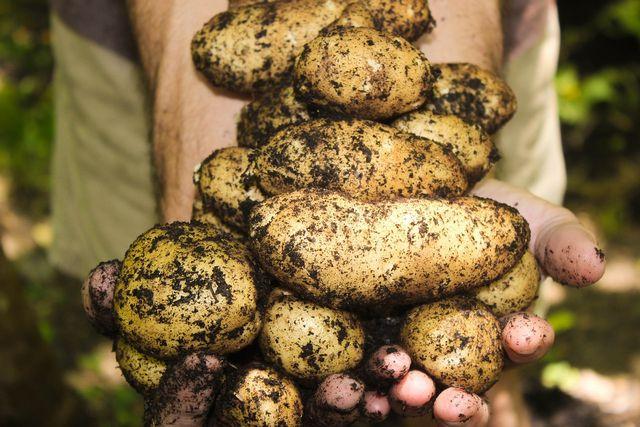 Sei beim Ernten der Kartoffeln vorsichtig und benutze am besten eine kleine Grabegabel, um sie nicht zu verletzen.