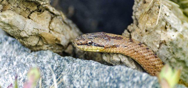 Heimische Schlangen