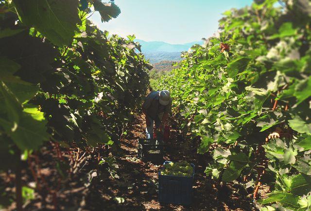 Weingut: Arbeitsbedingungen oft problematisch.