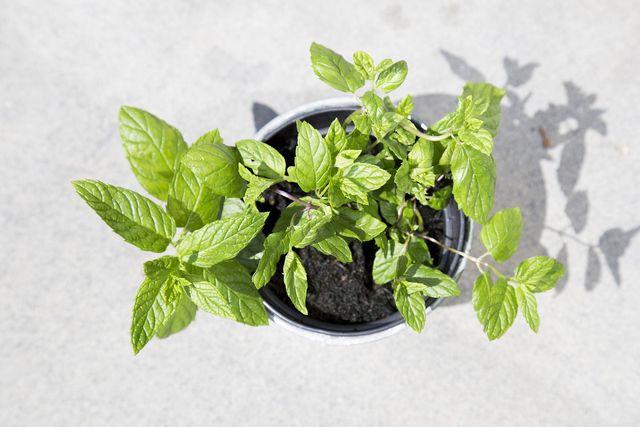 Im Topf gepflanzte Mojito-Minze solltest du regelmäßig gießen und im Winter ins Haus holen.