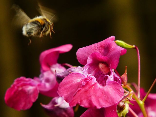 Indisches Springkraut ist ein wichtiger Nektarlieferant für Bienen und Hummeln.