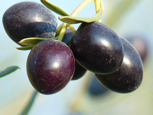 Bei einem Olivenbaum als Zierpflanze spielt der Ertrag keine Rolle. Der Schnitt dient der Formgebung und der Gesundheit der Pflanze.