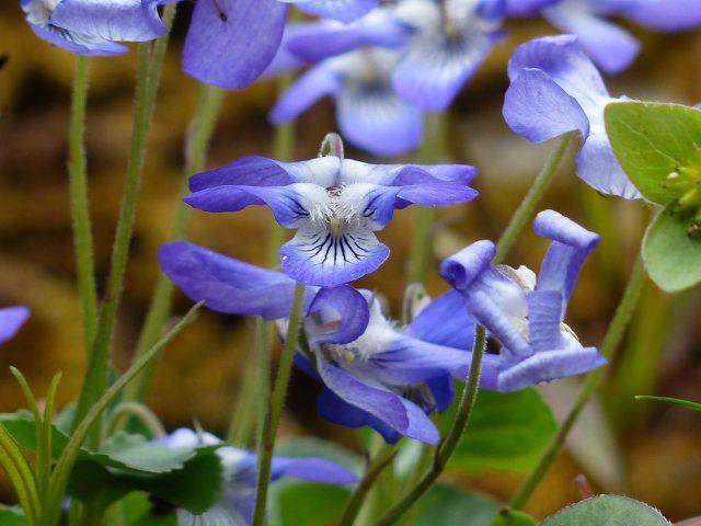 Die Blüten des Duftveilchens sind essbar und schmecken gut in Salaten und Smoothies.