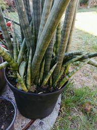 """Bogenhanf """"Sansevieria cylindrica""""mit vielen kleinen Ablegern."""