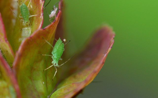 rose pests aphids