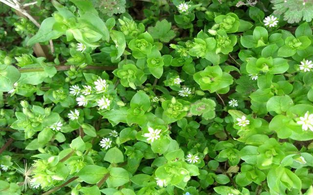 chickweed you can eat