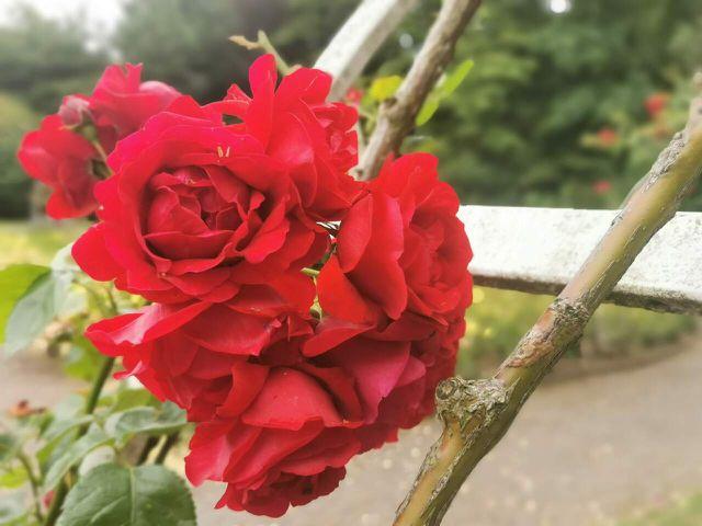 Rosen zurückschneiden: Je nach Rosenklasse unterschiedlich stark.
