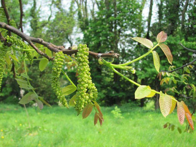 Schneide die Triebe deines Walnussbaumes über einer Knospe ab, damit diese anschließend austreiben kann.